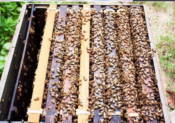 Bán Giống Ong Mật Ong Ngoại Mật Ong Thảo Mộc